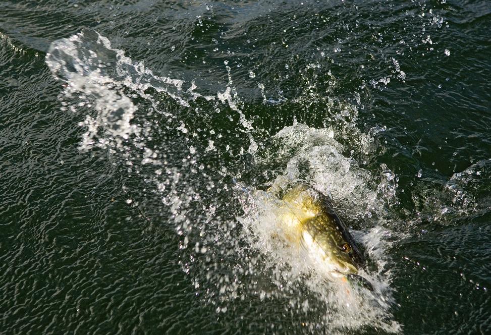 Vildt Geddefiskeri i Fynsk Mose