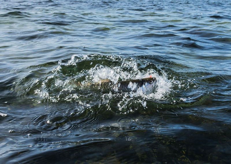 Sådan fisker jeg i maj og sådan udnytter du hornfisken til flere havørreder