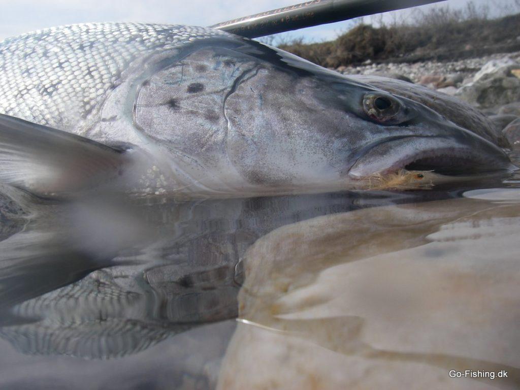 Forårsfisk Æbelø.jpg