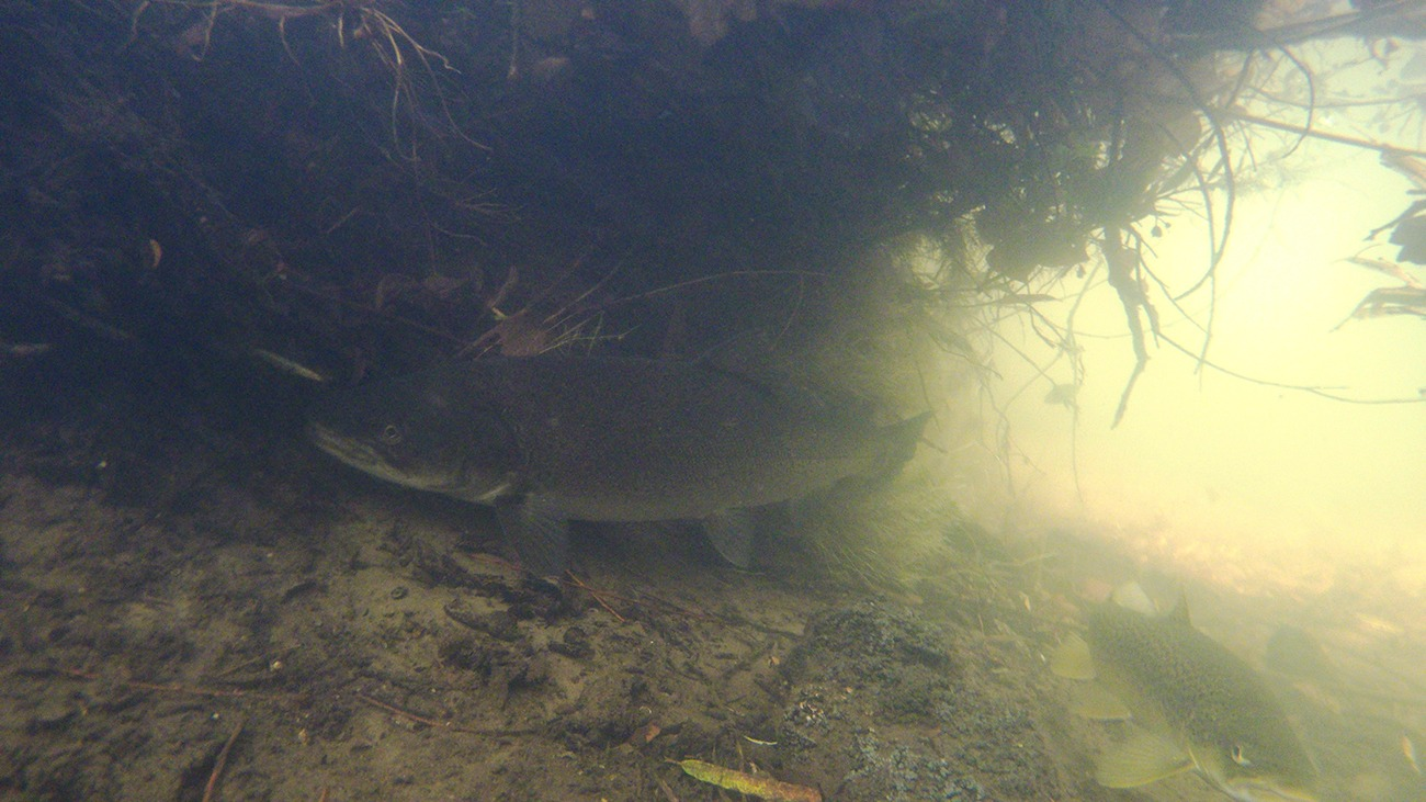 Kæmpe havørreder og døde fisk i åerne
