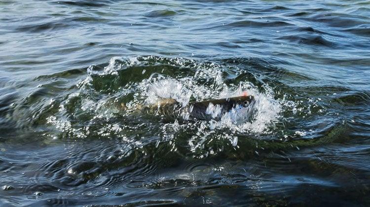 Sådan udnytter du hornfisken til flere havørreder